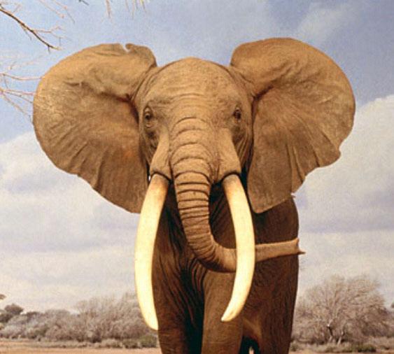 elefante3